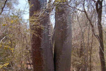 baobab-au-sud-de-madagascar2