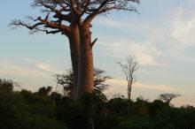 baobab-au-sud-de-madagascar3