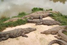crocodile-nil-madagascar