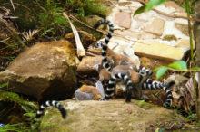 maki-lemur-madagascar