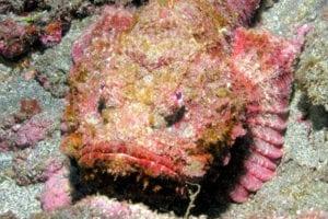 Le poisson pierre