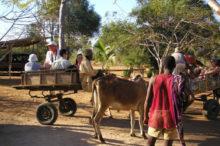 promenade-charette-zebu