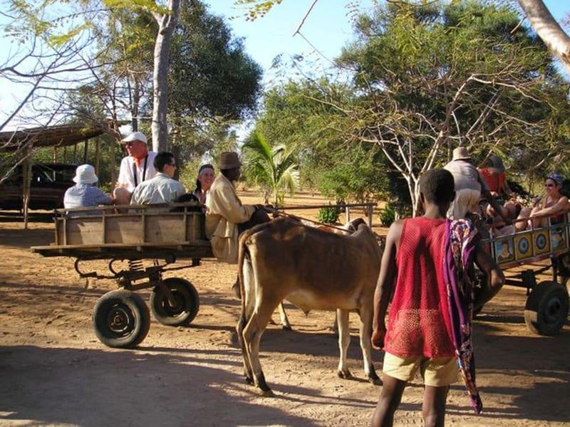 Promenade en charrette à zébu