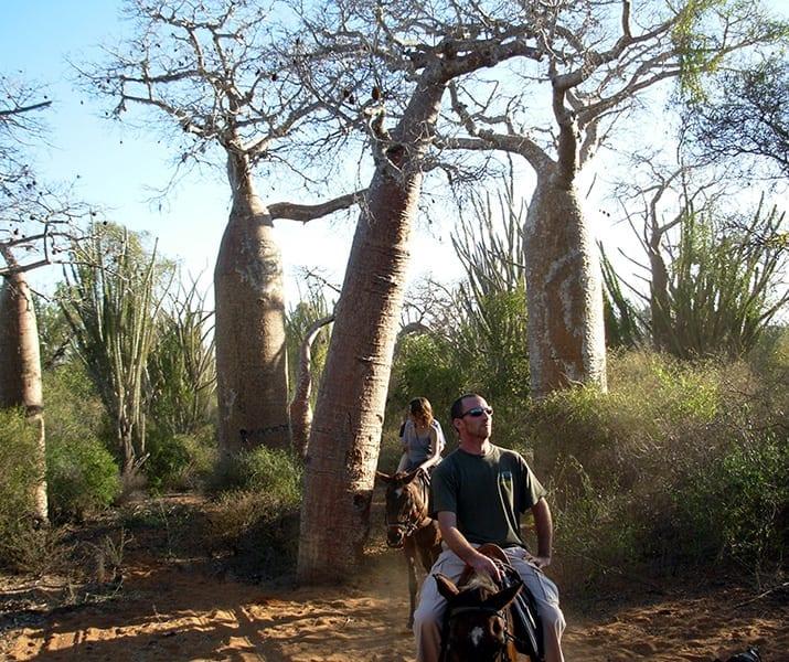 Promenades à cheval dans la forêt de baobabs